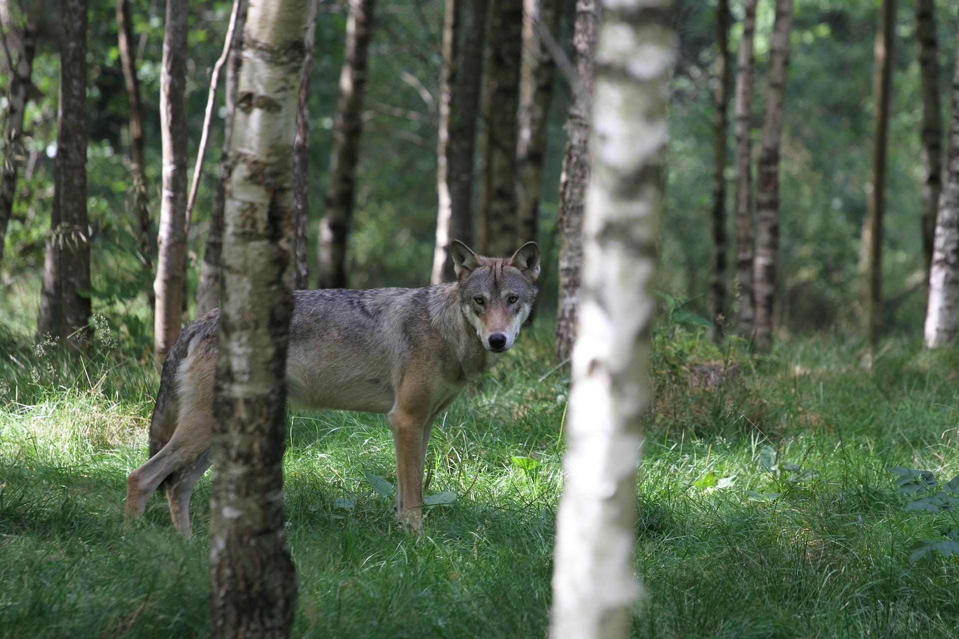 wolf-2904862_1920