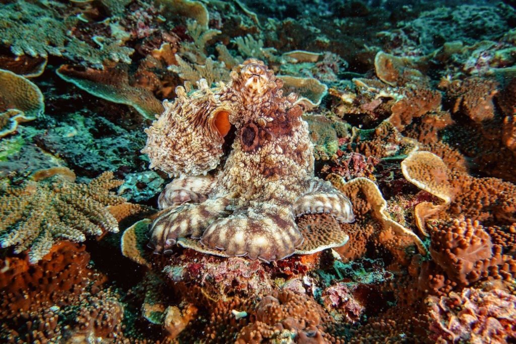 An octopus hiding amongst the diverse coral ecosystem at Manta Point II, Nusa Penida